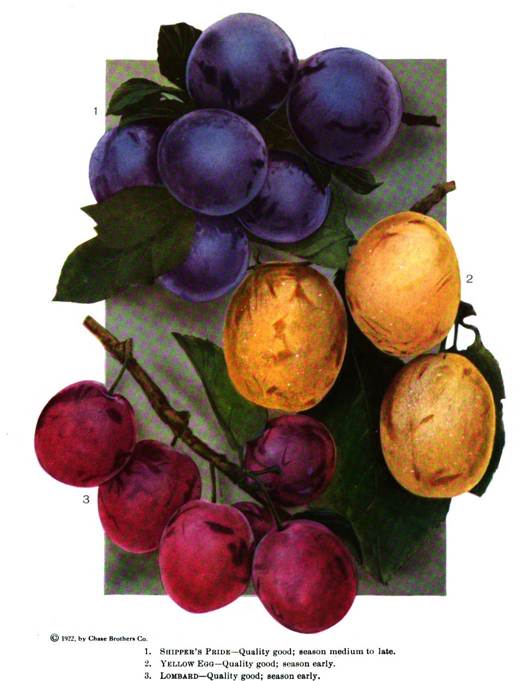 Illustration of three varieties of plums that are three different colors: purple Shipper's Pride, yellow Yellow Egg, and red Lombard.