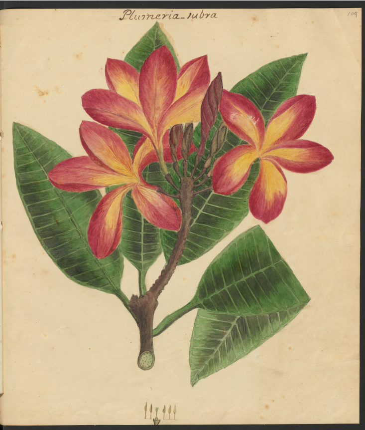Image from Specimens of the plants and fruits of the island of Cuba, Vol. 3, by Anne Kingsbury Wollstonecraft.